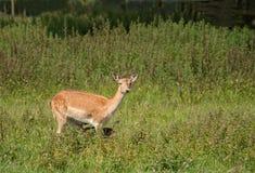 De herten van de moeder met verborgen veulen Royalty-vrije Stock Afbeelding