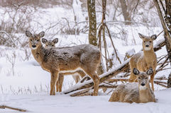 De Herten van de winterwhitetail Stock Fotografie