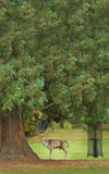 De herten van het mannetje, Burghley landgoed, Stamford, Engeland Stock Foto's