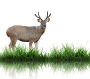 De herten van Sambar Stock Foto