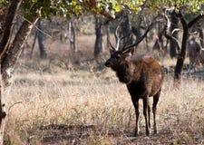 De herten van Sambar Stock Foto's