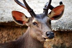 De herten van Sambar Royalty-vrije Stock Fotografie
