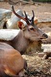 De herten van Sambar Stock Afbeeldingen