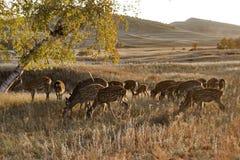 De herten van Sika stock foto's