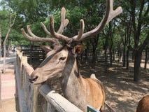 De herten van Sika in de dierentuin stock afbeeldingen