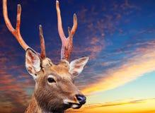 De herten van Sika tegen zonsonderganghemel Stock Fotografie
