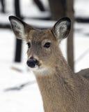 De Herten van Whitetail in de sneeuw Royalty-vrije Stock Afbeelding