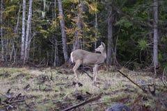De herten van Whitetail in het bos Royalty-vrije Stock Foto's