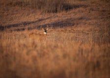 De herten van de Whitetailedbok stock afbeeldingen