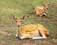 De herten vormden mooie vlekherten in de wildernis Stock Foto's