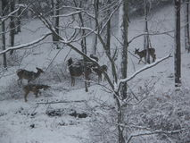 De herten weiden in de Sneeuw stock afbeelding