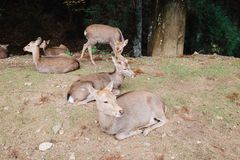 De hertenpark van Nara in Nara, Japan stock afbeelding