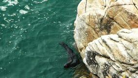 de het bontverbindingen van Nieuw Zeeland zwemt stock footage