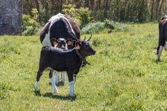 De het Bretonse kalf en koeien van Pasteinoire Royalty-vrije Stock Afbeeldingen