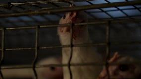 De het fokkenbraadkippen en de kippen, braadkippen zitten achter de tralies in de hut, gevogeltehuis, fabriek, landbouwbedrijf stock videobeelden