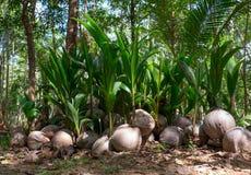 De het groeien spruiten van kokospalmen Stock Foto's