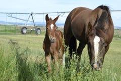 De het jonge Merrieveulen en Merrie van het Kwartpaard Royalty-vrije Stock Afbeelding