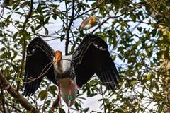 De het kweken geel-Gefactureerde ibis die van Ooievaarsmycteria het Nestelen verzamelen royalty-vrije stock foto's