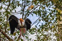 De het kweken geel-Gefactureerde ibis die van Ooievaarsmycteria het Nestelen verzamelen royalty-vrije stock afbeeldingen