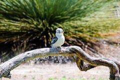 De het lachen kookaburra Stock Foto