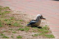 De het lachen kookaburra Royalty-vrije Stock Foto