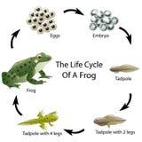 De het levenscyclus van een kikker vector illustratie