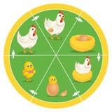 De het Levenscyclus van Kippen Vectorillustratie Royalty-vrije Stock Foto