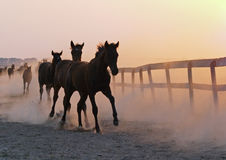 De het lopen kudde van veulennen Royalty-vrije Stock Foto