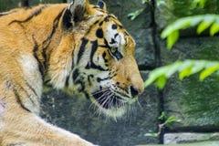 De het lopen tijger Stock Foto's
