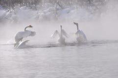 De het meer nevelige winter van de zwanenruzie (Cygnus Cygnus) Stock Foto's