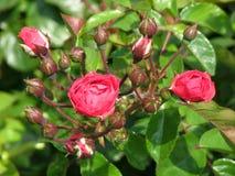 De het openen knoppen van rode rozen op groene achtergrond Royalty-vrije Stock Foto