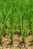 De het overplanten rijst landbouw. Stock Foto's