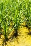 De het overplanten rijst landbouw. Royalty-vrije Stock Afbeeldingen