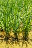 De het overplanten rijst landbouw. Royalty-vrije Stock Fotografie