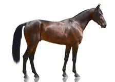 De het paardtribune van de baaisport op witte achtergrond wordt geïsoleerd die Royalty-vrije Stock Afbeeldingen