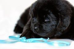 De het puppyhond van Newfoundland ligt droevig, op een witte achtergrond royalty-vrije stock afbeelding