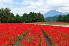 De het rode landbouwbedrijf en berg van Salvia royalty-vrije stock fotografie