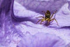 De het springen spin op violette bloem Royalty-vrije Stock Afbeeldingen