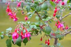 De het tot bloei komen fuchsia (Fuchsiakleurig L ) Royalty-vrije Stock Afbeelding