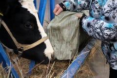 De het veeeigenaar van een ranch van de mensenbedrijfsmedewerker voedt hooi aan koeien in de box stock fotografie