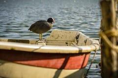 De het Waterkip van Vogelagugliastra stock foto