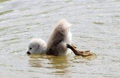 De het zegelzwaan die van de baby aan eend probeert duikt Royalty-vrije Stock Afbeeldingen