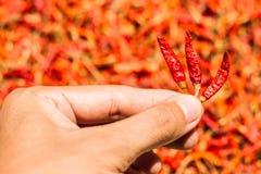 De hete en kruidige Rode Spaanse pepers op hand, Droge rode Spaanse peper, Peper, Spaanse pepers als achtergrond voor verkoop in  Stock Afbeeldingen
