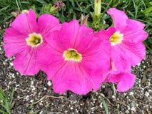 De hete Roze familie van de Stokrozenmalve bloeit installaties van Alcea van de plattelandshuisjetuin de jaarlijkse tweejarige of stock afbeeldingen