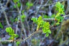 De heupen, takjes, bladeren, de lente, bloei, knoppen zijn briar zwellen, rozebottel Royalty-vrije Stock Afbeeldingen
