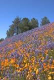 De Heuvel van de Papaver van de lupine Royalty-vrije Stock Fotografie