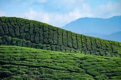 De heuvel van de theeaanplanting Stock Afbeeldingen