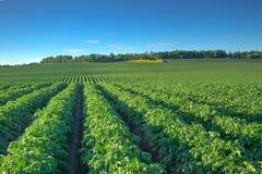 De heuvels van de aardappelrij Stock Foto's