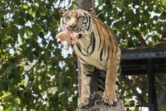 De hevige tijger die vreselijk en een slachtoffer eten Stock Foto