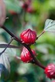 De hibiscus bloeit Knoppen Stock Foto's